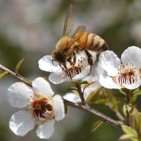 """Seit dieser Entdeckung ist das Thema Manuka-Honig """"in aller Wunde"""". Manuka-Honig gibt es als Medizinprodukt für die Wundbehandlung in der Apotheke. Viele Ärzte und Heilpraktiker setzen aber mit großem Erfolg MGO™- oder UMF™- zertifizierte Manuka-Honige in ihrer natürlichen Form ein. Zum einen ist das gammabestrahlte Medizinprodukt ausschließlich für die äußerliche Anwendung vorgesehen, zum anderen ist es bis zu 20 mal teurer als ein vergleichbarer naturbelassener Manuka-Honig. So leistet Manuka-Honig als Speisehonig wertvolle Dienste bei der Bekämpfung innerlicher Krankheiten sowie bei der Stärkung des Immunsystems. Im praktischen Einsatz hat sich gezeigt, dass auch äußerliche Anwendungen mit Manukahonig höchst effektiv, risikofrei und somit sehr sinnvoll sein können."""