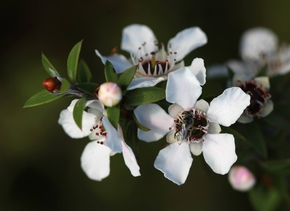 Manuka-Honig – süße Medizin aus Neuseeland